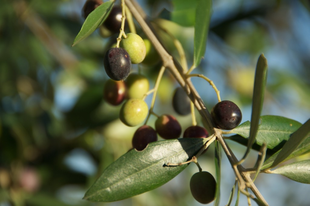 L'oliva Minuta (Presidio Slow Food)